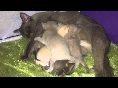 Sweet kittens - european burmese