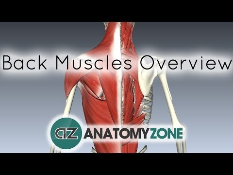 Back Muscles in a Nutshell - Anatomy Tutorial
