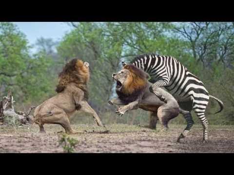사자 vs 얼룩말