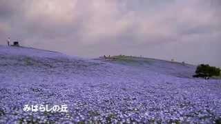 日立海浜公園 ネモフィラの丘 Hitachi Seaside Park Nemophila ネモフィラの丘 検索動画 28