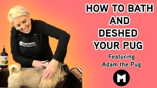 How to bath and deshed your Pug