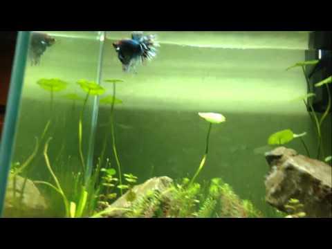Aquarium for betta fish part 2