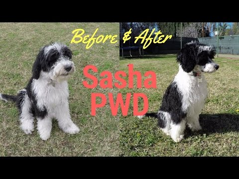 Check out her new hairdo!  Sasha PWD - Portuguese Water Dog