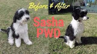 Check out her new hairdo!  Sasha PWD  Portuguese Water Dog