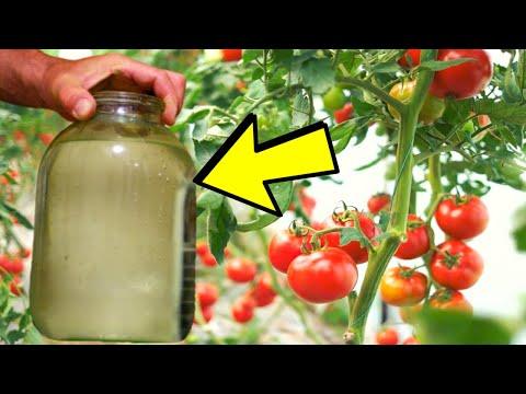 СОСЕДИ Были В ШОКЕ Когда Увидели Мой Урожай ПОМИДОР! Собираю ВЕДРАМИ Томаты! | обработать | подкормка | опрыскать | помидоры | ускорит | собираю | кислота | ведрами | урожай | томаты