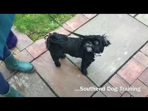 'ANOTHER DOG FAILED BY A DOG WHISPERER'- Dog Reactive Shihtzu Part 1