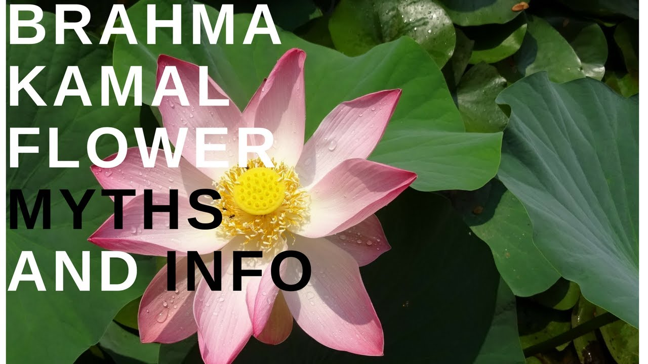 Brahma Kamal Flower Myth And Importance In India Guide Included
