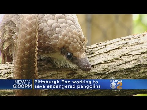 Pittsburgh Zoo Joins Effort To Save The Pangolin