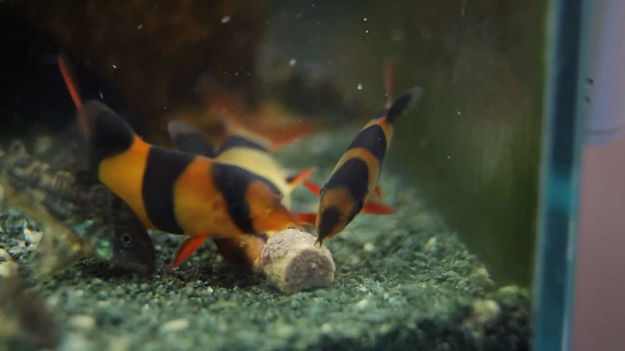Clown loach clicking while eating youtube for What do clown fish eat