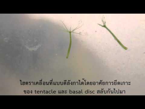 การเคลื่อนที่ของไฮดรา (Hydra locomotion)