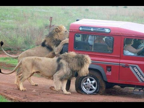 African Safari Lion Attacks Hunter - Wild Safari Drive (Africa)