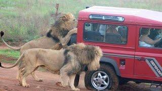 African Safari Lion Attacks Hunter - Wild Safari Drive (Africa)