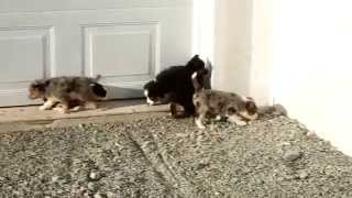 Miniature Australian Shepherd Mix Puppies For Sale