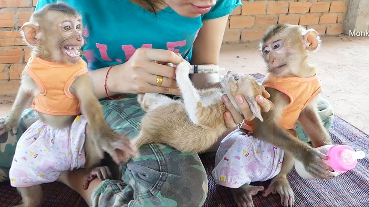 Dodo Crying Jealous Mom Feed Milk To Kitten Cat
