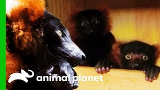 Baby Red Ruff Lemurs Get Ready To Go On Exhibit | The Zoo