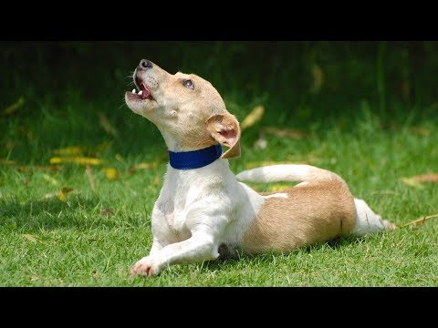 Funny Dogs Barking and Howling Compilation