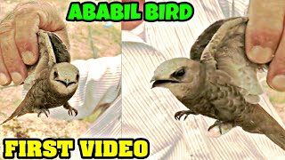 Video First Video Of Ababil Bird Goes Viral download MP3, 3GP, MP4, WEBM, AVI, FLV Agustus 2018