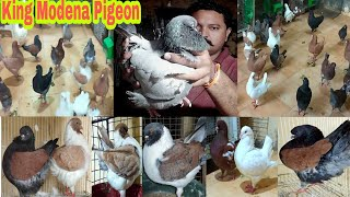 King Modena pigeon All color | quality Birds | Mumbra fancy pigeons |