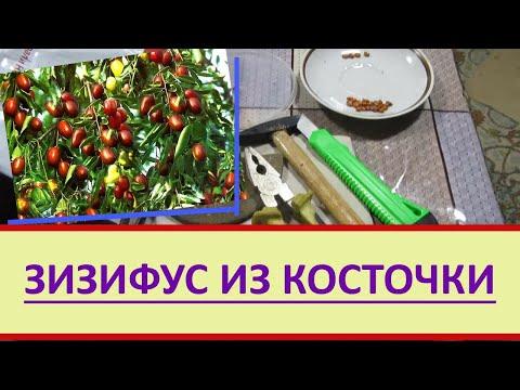 Как вырастить Зизифус-унаби-китайский финик из косточки. Проращивание семян Зизифуса