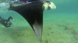 Karol Meyer Freediving Aventura * Mergulhando com arraia Manta em Bonaire
