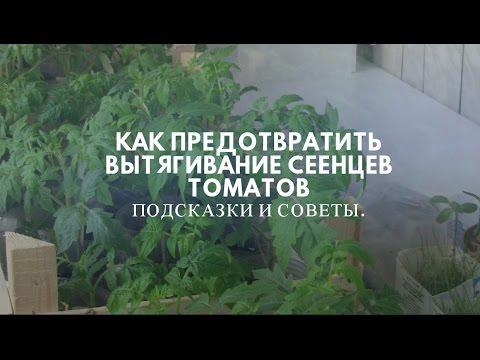 Как предотвратить вытягивание  сеянцев  томатов.   предотвращение   выращивание   томатов   рассады   рассада   сеянцы