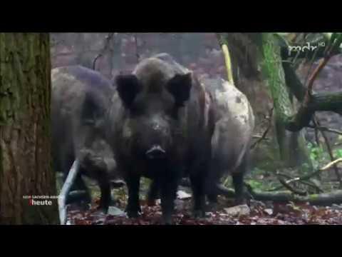 Jagd Auf Wildschweine In Magdeburg MDR SACHSEN ANHALT HEUTE