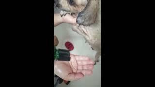 Shampoo con amitraz