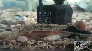 Polypterus Endlicheri for 5 months (2020)