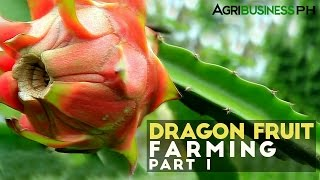 Dragon Fruit Farming Part 1 : Dragon Fruit Farming in the Philippines | Agribusiness Philippines
