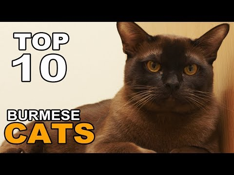 TOP 10 CUTE AND FUNNY BURMESE CATS BREEDS