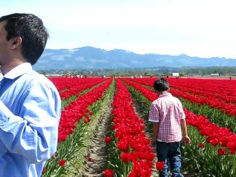 Tulip Farm in Seattle, WA in April