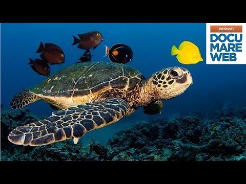 Documentario Jacques Cousteau - Il destino delle tartarughe di mare - La grande avventura del mare