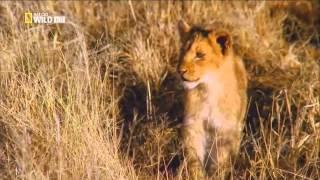 Кошачьи войны: Лев против Гепарда 03