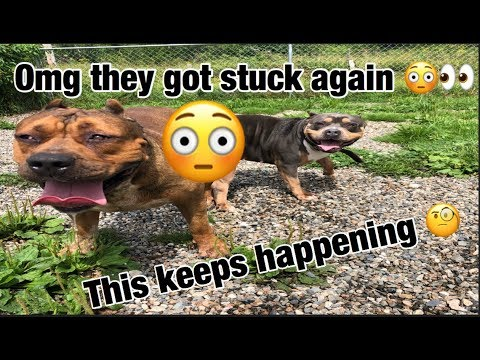 THE HULK LIFE: why do my dogs keep getting stuck together!!