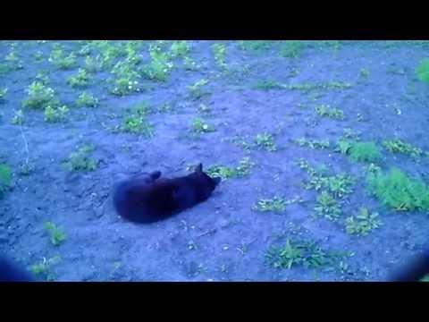 как действует валерьянка на кота...