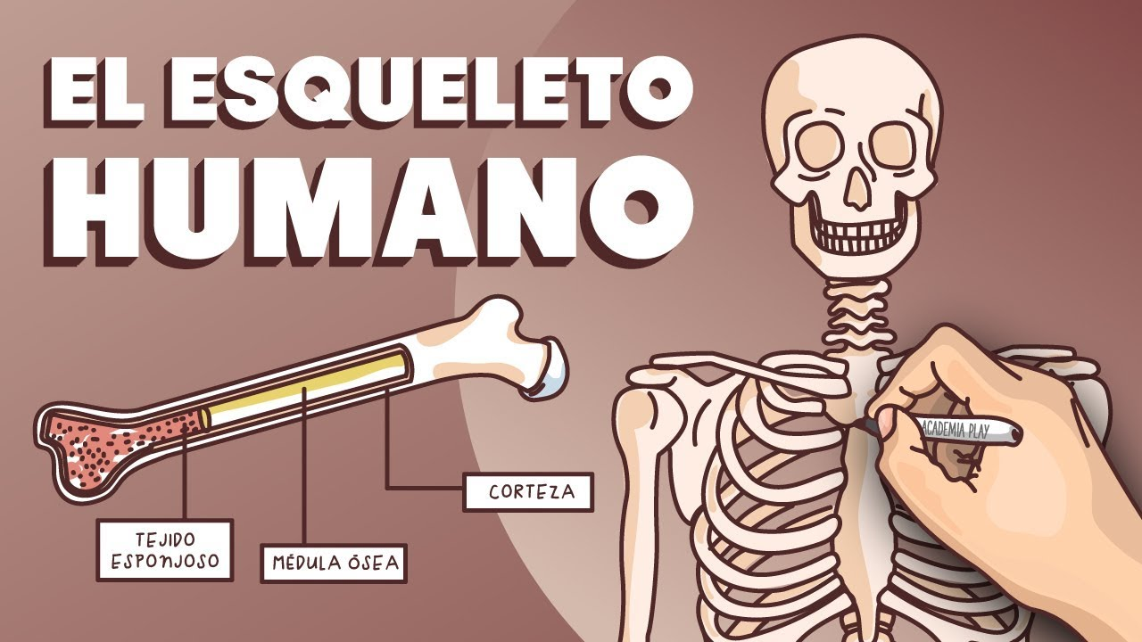 El esqueleto humano - YouTube