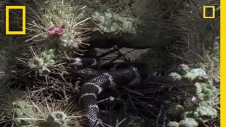 Thrasher vs. King Snake | National Geographic