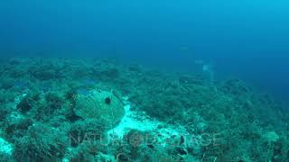 Coral reef with Bluefin Trevallies and plenty small fish. 4k footage
