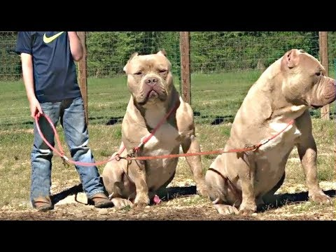 American Bully Dog Buy Or Not Dog Price List In India Wholesale Dogs Market Youtube