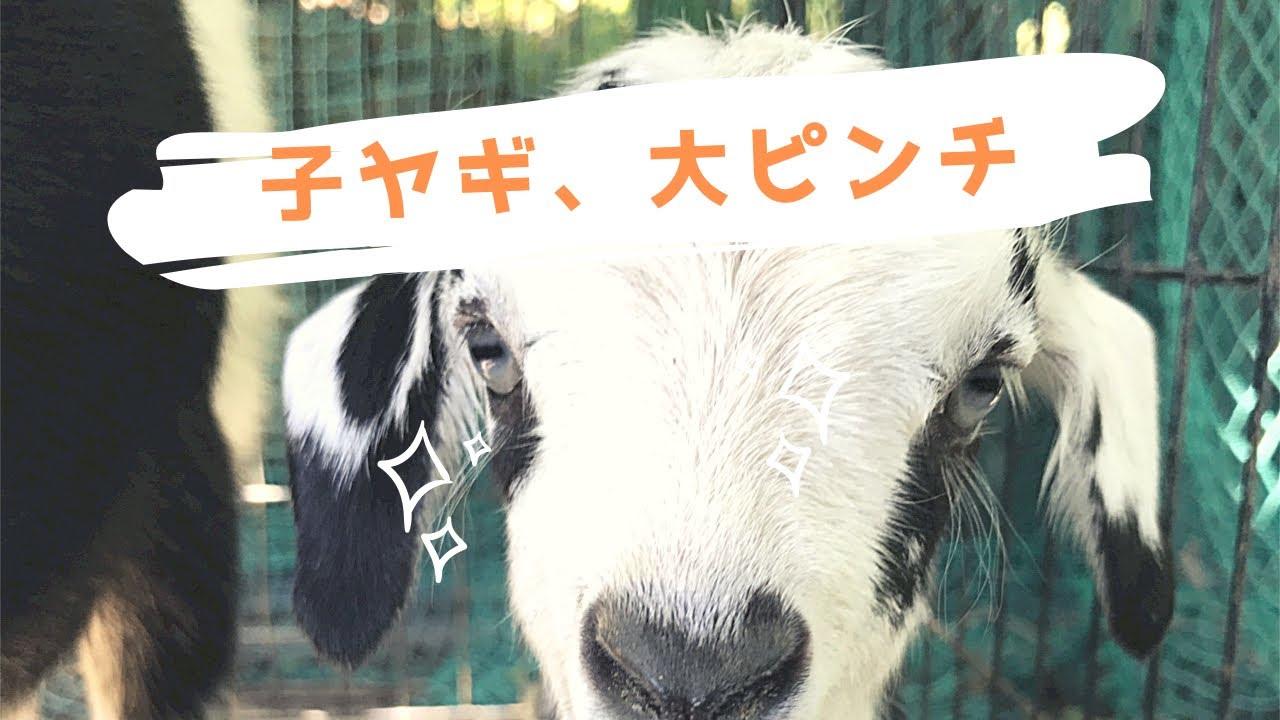 子ヤギ、立ち往生 baby goat get stuck on the roof