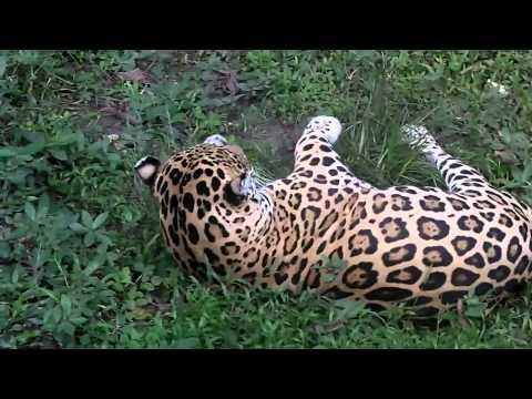 Amazon Jaguar stock footage