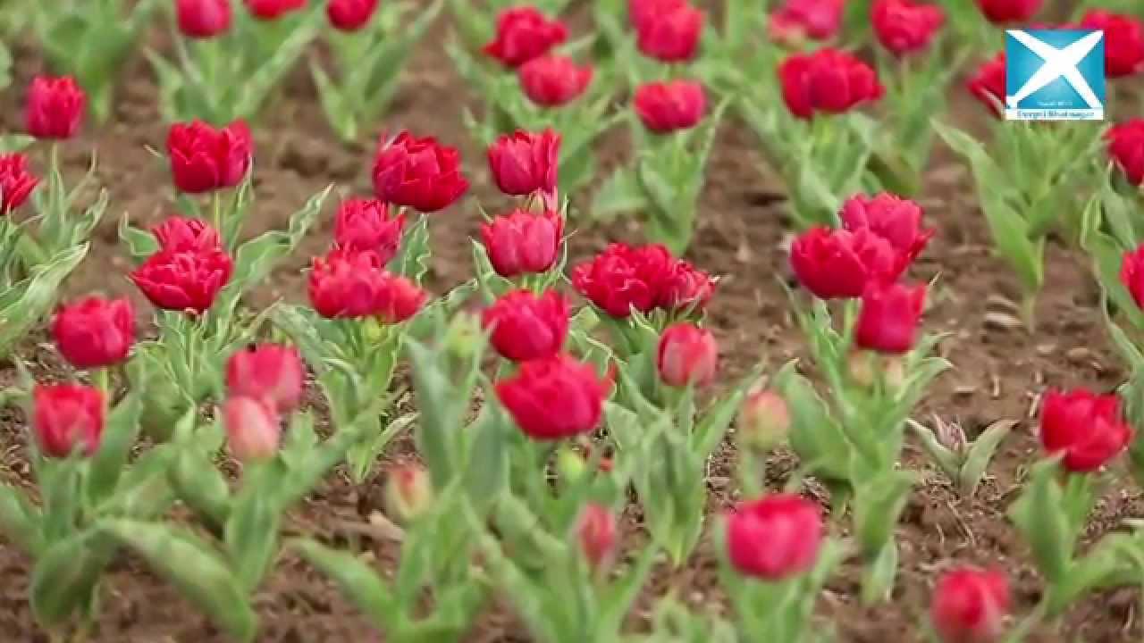 Kashmir Tulip Garden Carpet Factory Youtube