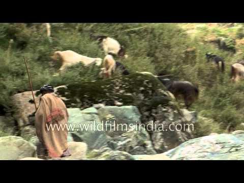 Himalayan shepherd leads his goat and sheep - Kashmir