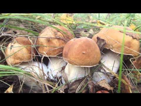 вешенка грибы казань