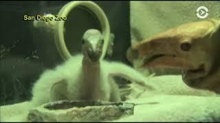 Калифорнийский кондор вне опасности: этот вид хищной птицы удалось спасти