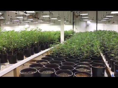Police bust multimillion-dollar marijuana