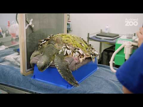 Plastic and twine found in endangered sea turtle patient