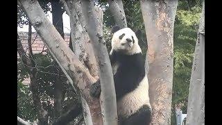 ジャイアントパンダ:木を巧みに登っていくリーリー(上野動物園) thumbnail
