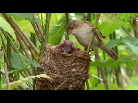 Big Brother eviction cuckoo style - Natural World - BBC