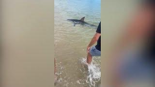 Australia, a riva spunta una pinna: è uno squalo di oltre due metri. Intervengono i bagnanti